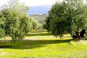 cubiertas-de-musgo-en-el-olivar